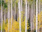 Autumn Aspens Colorado