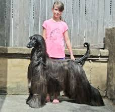 afghan hound long haired dogs meet the world u0027s prettiest dog afghan hound named tea veriy