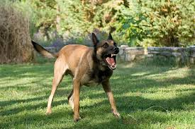 belgian shepherd nc is a landlord liable if a tenant u0027s dog bites someone on their