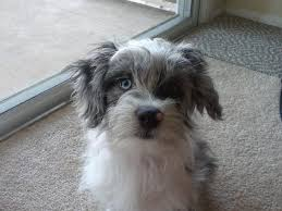 australian shepherd yorkshire terrier mix this is my mini aussie shepherd havanese cooper 4 months old i