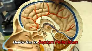 Structure Of Human Anatomy Human Brain Anatomy Youtube