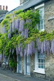 Wisteria Home Decor by Best 25 Wisteria Ideas Only On Pinterest Flower Vines Climbing