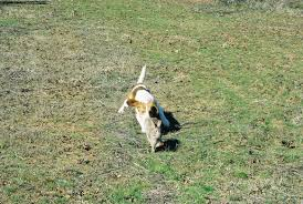 bluetick coonhound puppies for sale in ohio started dogs for sale beagles on fire