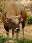 Image result for Bos javanicus