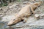 Image result for Crocodylus palustris