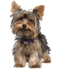 belgian sheepdog breeders in texas yorkie puppies yorkie rescue and adoption near you