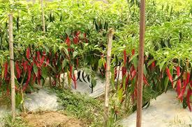 Kỹ thuật trồng ớt trái mùa
