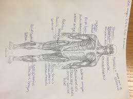 Anatomy And Physiology Chapter 1 Review Answers Anatomy Mrs Zedan U0027s Science