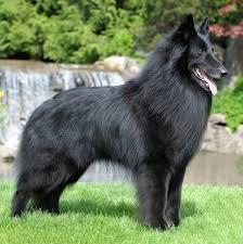 belgian sheepdog breeders in texas 2011 costa mesa ca belgian sheepdog club of america