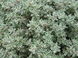 thyme planting growing and harvesting thyme the old farmer u0027s
