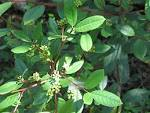 Frangula californica ssp.