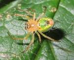 Araniella cucurbitina - Wikipedia, the free encyclopedia