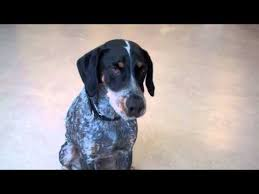 training a bluetick coonhound to hunt hunter a bluetick coonhound mix available for adoption at the