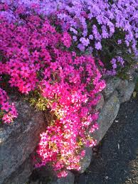 Rock Garden Plants Uk by Creeping Phlox My Favorite Plant Just Plant And It Grows And