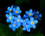 Forget-Me-Nots - Flowers Photo (25785400) - Fanpop fanclubs