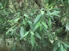 Image result for Avicennia alba