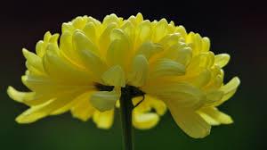 வால்பேப்பர்கள் ( flowers wallpapers ) - Page 2 Images?q=tbn:ANd9GcTsRr3FMZFklFNlq9_Cp3lvHvcOmoOGy5AK42nzWNDiGgFcCuCf5A