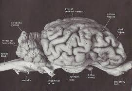 Sheep Brain Anatomy Game Biol 160 Human Anatomy And Physiology