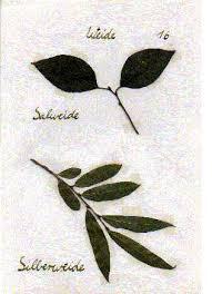David Wellmann - Herbarium - Weide1mi