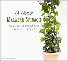 malabar spinach what it is benefits and how to grow u0026 eat it