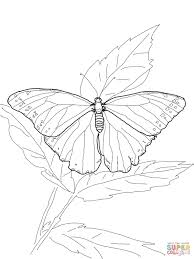 blue morpho butterfly coloring page free printable coloring pages