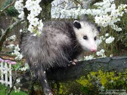 How Do You Get Rid Of Possums In The Backyard by Opossums And Gardening A Few Things To Know The National