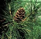 There are the <b>Gymnosperm</b>,