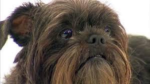 oldest affenpinscher affenpinscher dogs and puppies