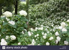 tokyo german village hydrangea white flower sodegaura chiba