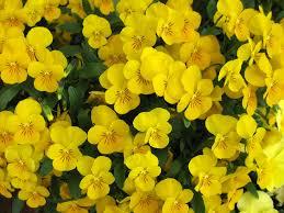 garden flowers violas u2026such dainty winter blooms lisa cox garden