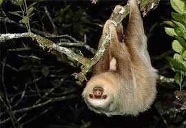 About the Two-Toed Sloth