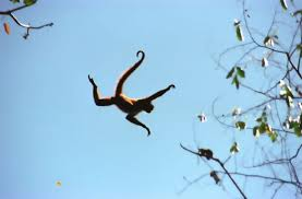 Flying Spider Monkey Costa