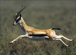 http://t3.gstatic.com/images?q=tbn:Caq7jlw8kFd_TM:http://animal.discovery.com/mammals/gazelle/pictures/gazelle-picture.jpg