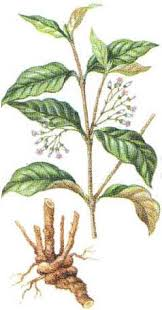 (plant source of ibogaine)