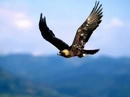 Golden Eagle - Soaring High
