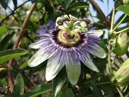 Passiflora%20caerulea.jpg&t=1