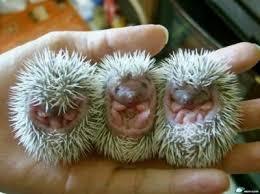 external image porcupine-baby.jpg