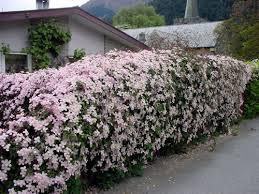 Clematis montana 'ar. rubens 'Tetrarose'