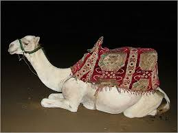 صور جمل من ملك روحي  Camel1