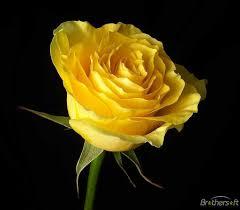 گل رز زرد رنگ