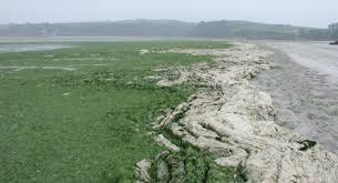 Marées vertes en Bretagne, sauvons les riches ! Mar%25E9e%2520verte