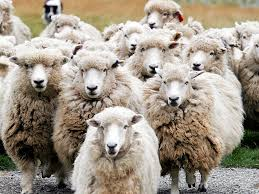 تقول لمين كل سنة وانت خروف أ.أ.أ.أ.أ. وانت طيب 6lb2