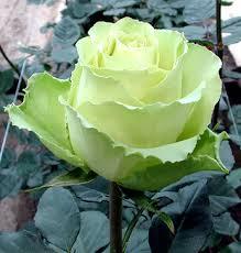http://t3.gstatic.com/images?q=tbn:VtJ_DPHJxrgfrM:http://img.alibaba.com/photo/11561506/Roses_And_Fresh_Cut_Flowers_From_Ecuador.jpg