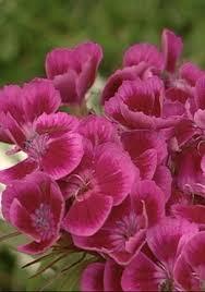 Dianthus barbatus 'Roundabout' serie'