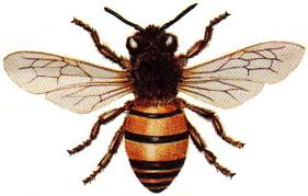 Are Australian honeybees behind U.S. hive collapse?