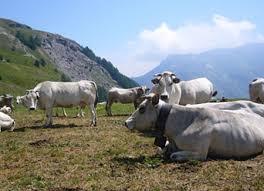 Mucche alpeggio in Piemonte