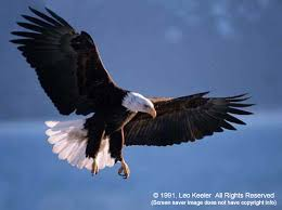 Bald eagles, Americas bird