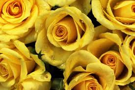 Yellow roses means