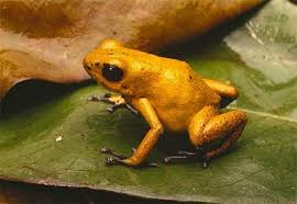 حديقة حيوانات المركز الدولى  Poison-dart-frog