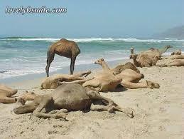 صور جمل من ملك روحي  Camel-3